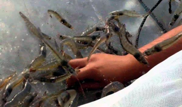 camarón principal producto en venezuela